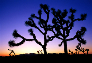 A winter sunset in Joshua Tree.